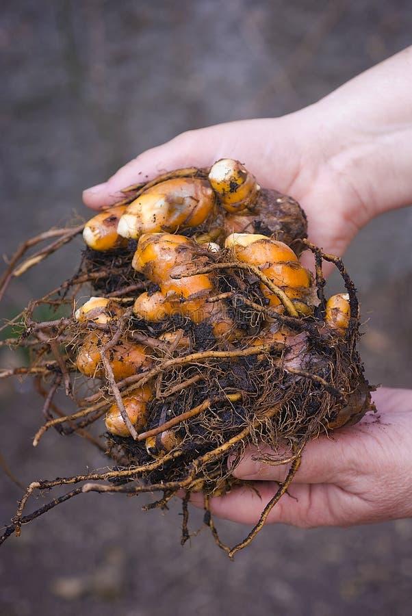Turmeric root (Curcuma longa) freshly picked royalty free stock image