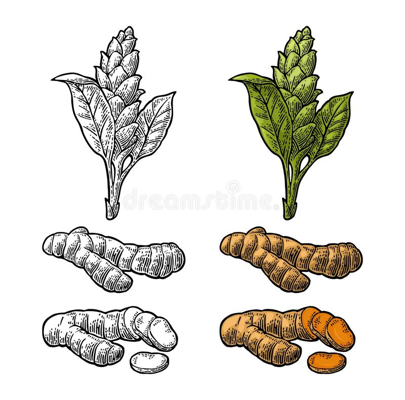 Turmeric root, powder and flower. Vector color vintage engraved royalty free illustration