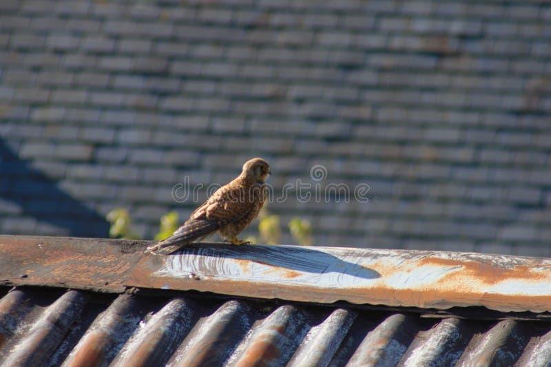 Turmfalke auf einer Dachspitze Süd-England, Großbritannien lizenzfreie stockfotos