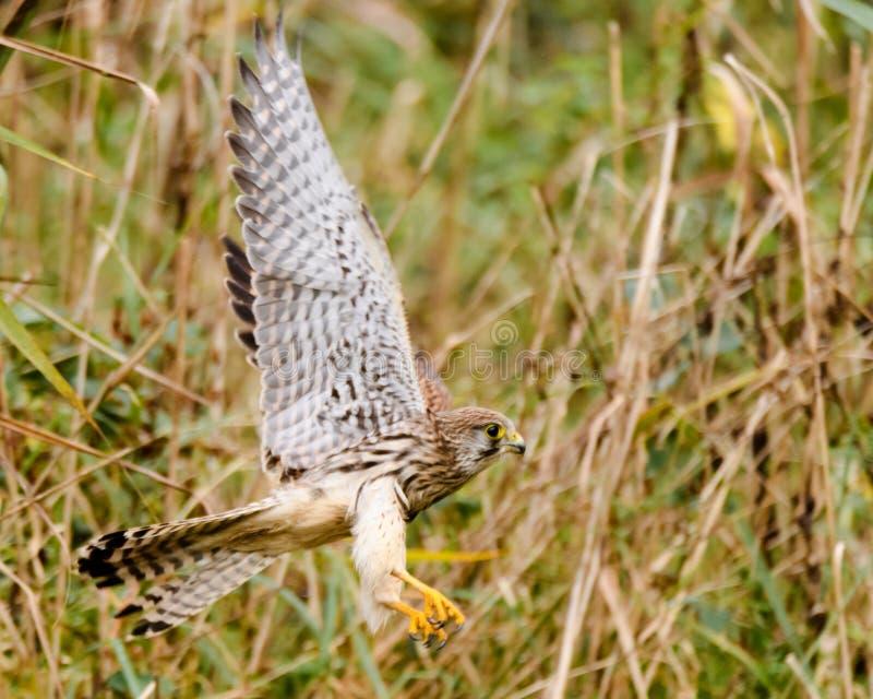 Turmfalke (Falco-tinnunculus) Flug von den Schilfen auf dem Boden nehmend lizenzfreies stockbild