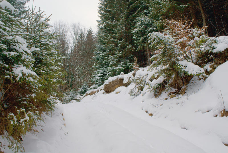 Turn of road on hill in dense coniferous snowy forest in wild royalty free stock photos