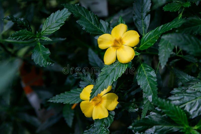 Turnera ulmifolia, ramgoat dashalong, yellow alder, damiana. Exotic tropical flower Turnera ulmifolia, rhombic dashalong, yellow alder flower royalty free stock photos