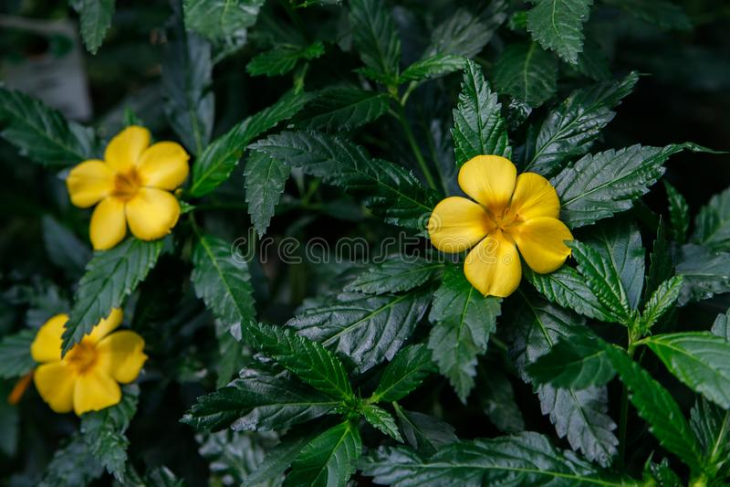 Turnera ulmifolia, ramgoat dashalong, yellow alder, damiana. Exotic tropical flower Turnera ulmifolia, rhombic dashalong, yellow alder flower stock photography