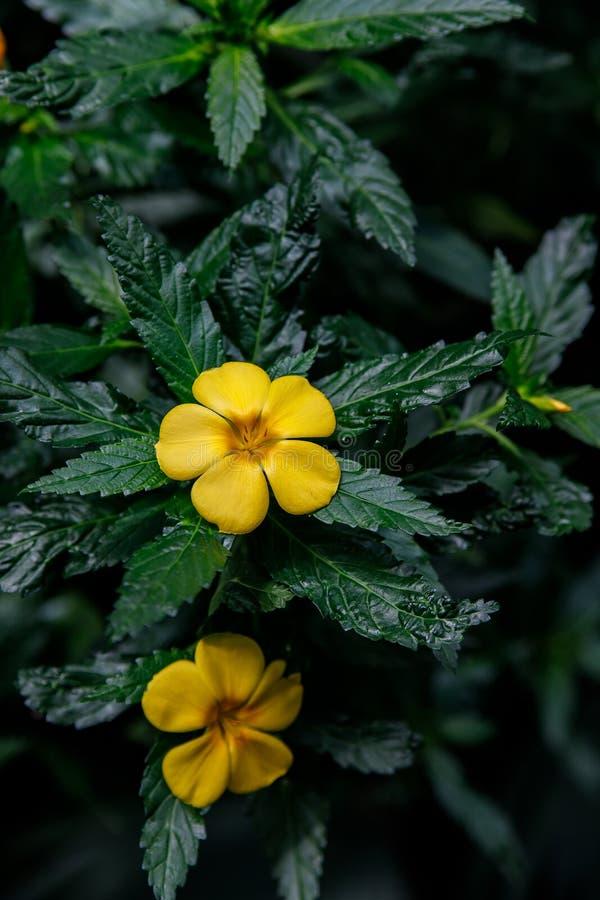 Turnera ulmifolia, ramgoat dashalong, yellow alder flower. Exotic tropical flower Turnera ulmifolia, rhombic dashalong, yellow alder flower stock image