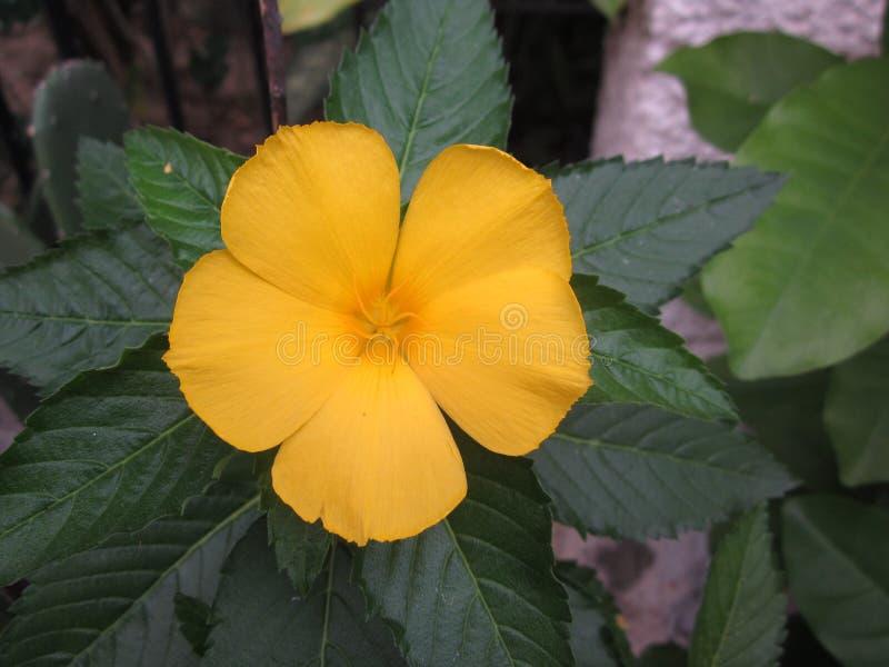 Turnera ulmifolia or Yellow alder plant. Turnera ulmifolia or Yellow alder plant is blooming stock photos