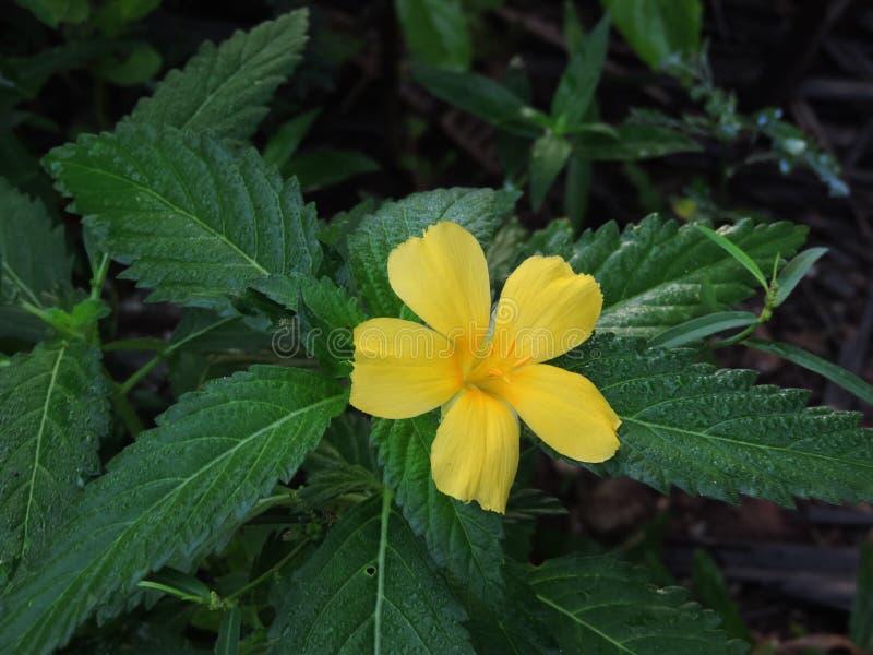 Turnera ulmifolia or Yellow alder plant. Turnera ulmifolia or Yellow alder plant is blooming stock photo