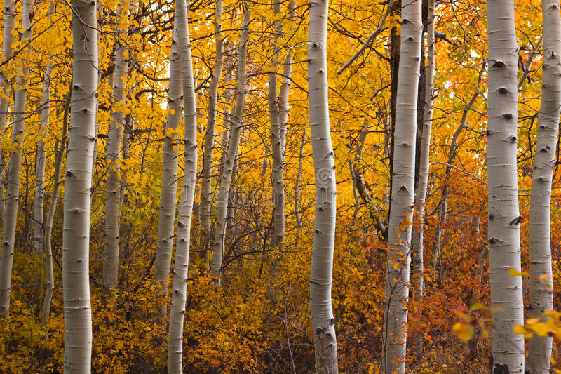 Turning Aspen Grove royalty free stock images