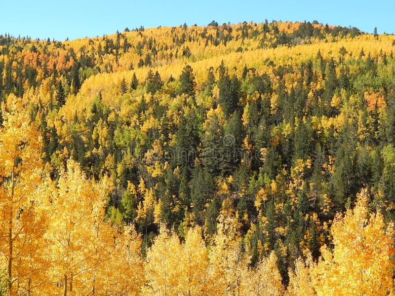 Turning of the Aspen. The aspen trees have turned the fall color brilliant yellow. The mountain side is lush with the bright yellows and reds. Near Cripple Creek stock photography
