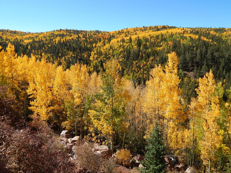 Turning of the Aspen. The aspen trees have turned the fall color brilliant yellow. The mountain side is lush with the bright yellows and reds. Near Cripple Creek royalty free stock photo