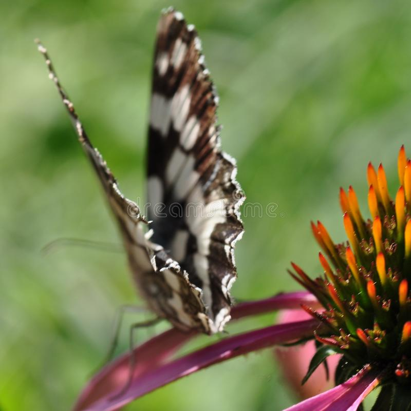 Turning away, the butterfly Melanargia galathea, The motley-eyed galatea sits on a pink echinacea flower in the summer royalty free stock images