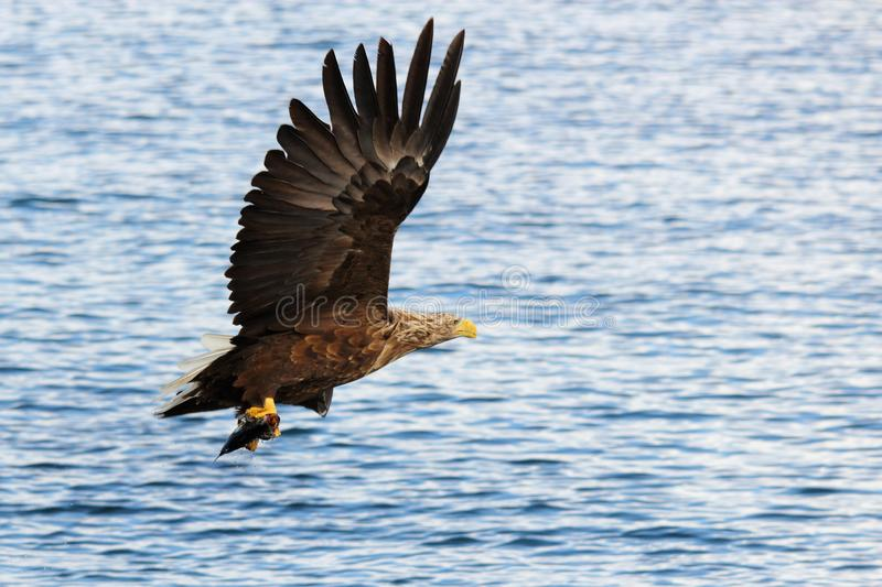 Turning left with the prey, above Lofoten's sea. Sea eagle flying away after a good catch Lofoten islands, arctic archipelago situated in northern Norway stock photos