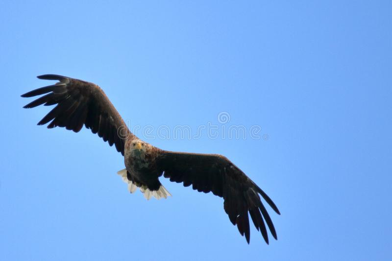 Turning in Lofoten`s sky. Sea eagle turning in the sky for catching his prey, Lofoten islands, arctic, Norway royalty free stock photography