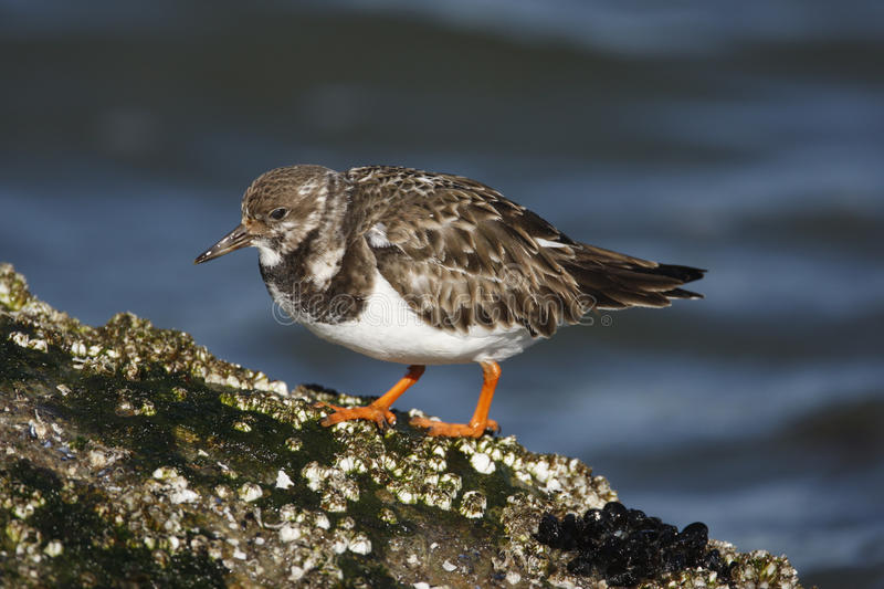 Download Turnstone, Arenaria Interpres Stock Image - Image: 34312713