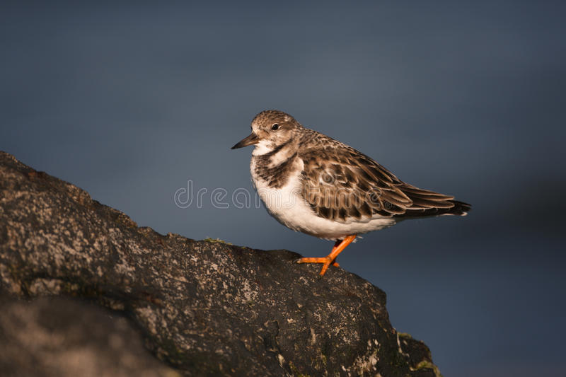 Download Turnstone, Arenaria Interpres Stock Image - Image of rocky, british: 34312725