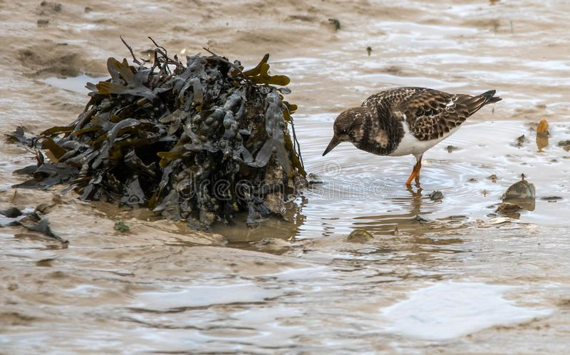 Turnstone image stock