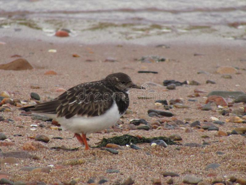 Turnstone bird on sand. A Turnstone bird situated on sand, beside river Don, Aberdeen, Scotland. Turnstone birds spend most of their time creeping and fluttering stock image