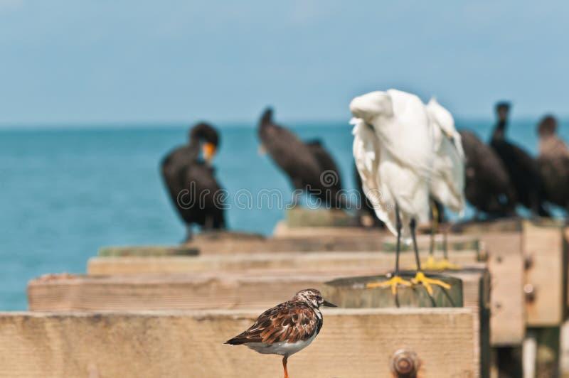Turnstone vermeil simple, position de l'oiseau marin sur la structure en bois avec d'autres oiseaux de mer photos stock