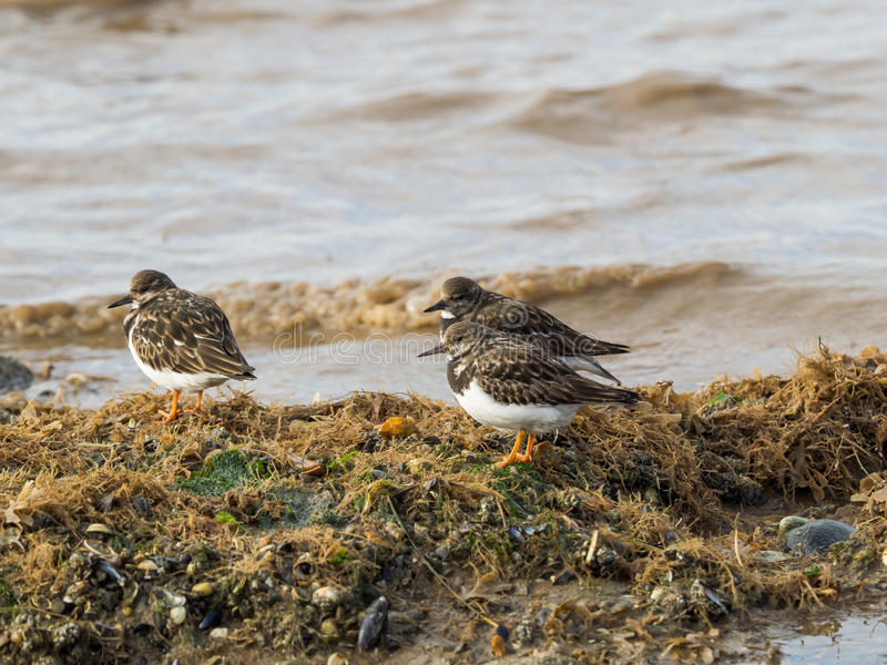 Turnstones. Three Turnstone pecking for food on a beach royalty free stock image