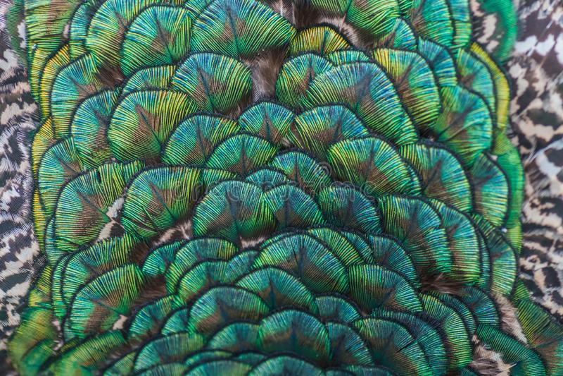 Turqoise装饰品羽毛的孔雀关闭 库存照片