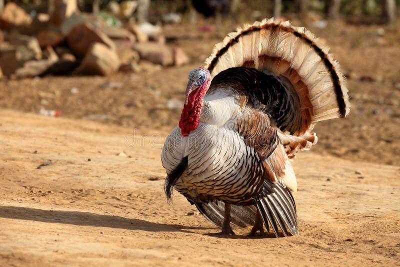Turquía durante cortejo foto de archivo