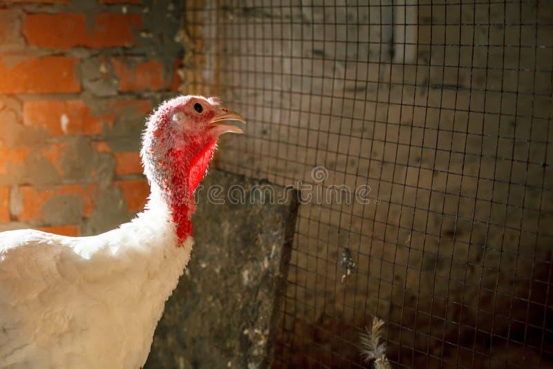 Turquía-gallos en una granja avícola tradicional imagen de archivo libre de regalías