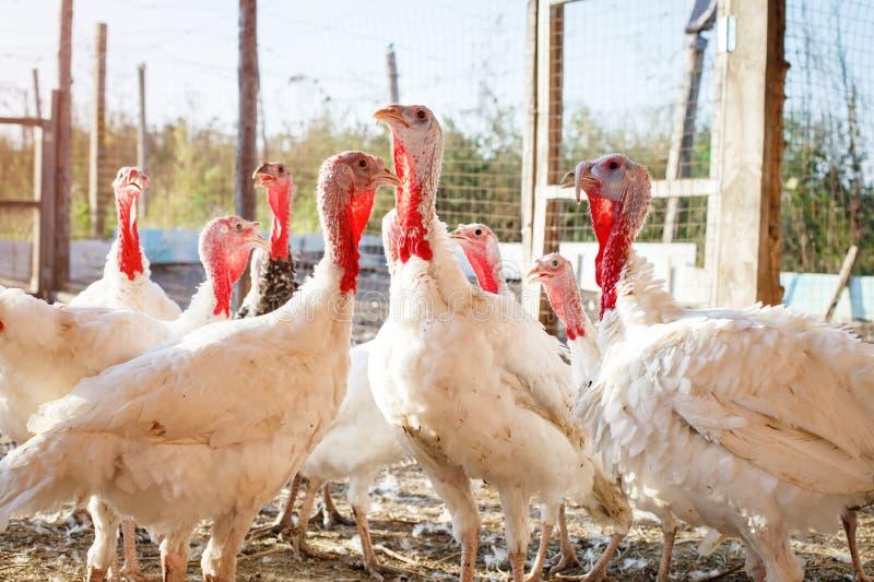 Turquía-gallos en una granja avícola tradicional fotos de archivo