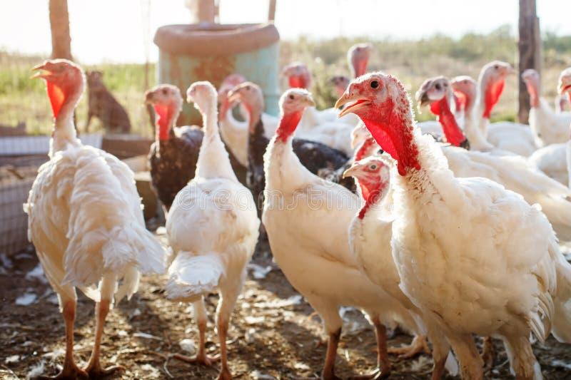 Turquía-gallos en una granja avícola tradicional foto de archivo libre de regalías