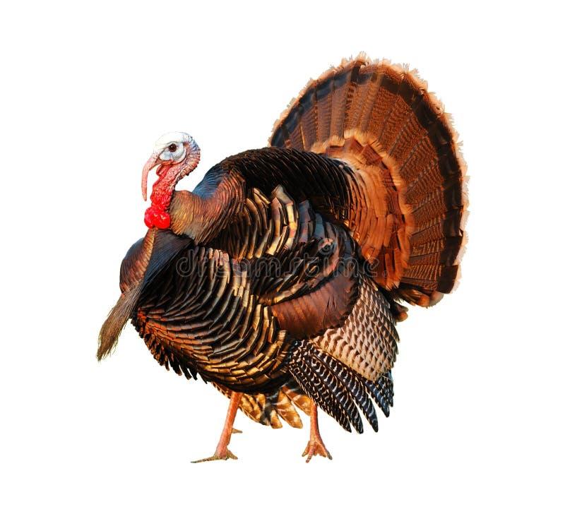 Turquía Tom que apuntala su materia fotos de archivo libres de regalías