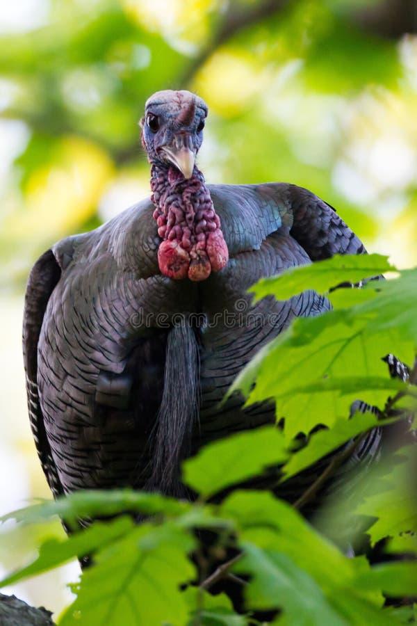 Turquia masculina na árvore fotos de stock royalty free