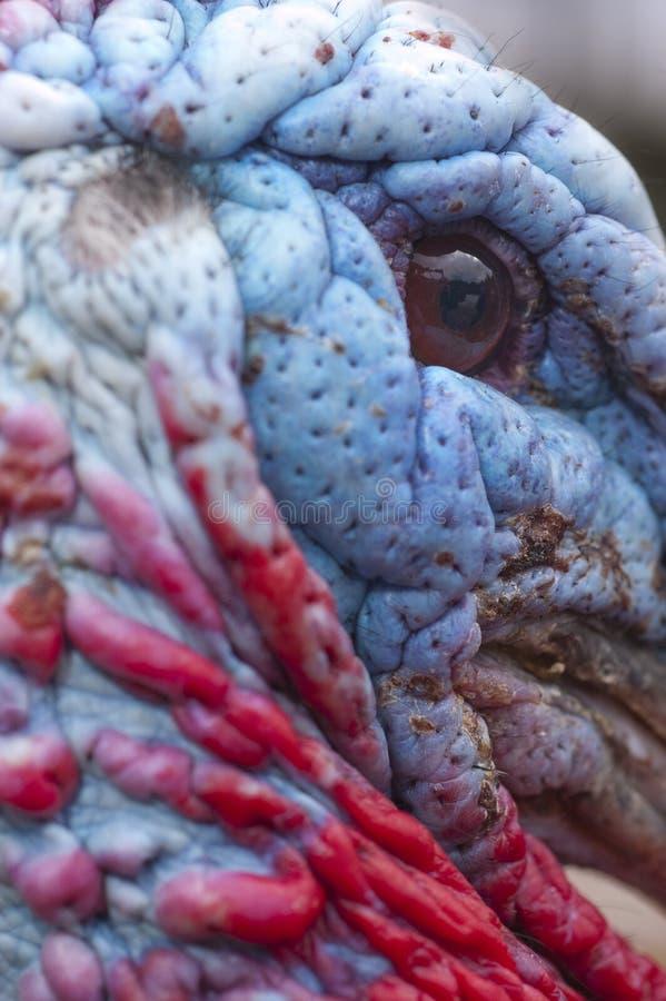 Turquia selvagem - Meleagris gallopavo foto de stock