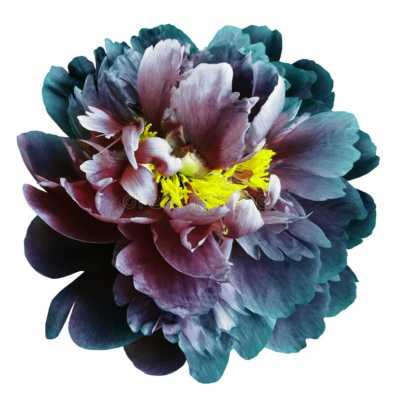 Turquoise-blue-red peony flower with yellow stamens on an isolated white background with clipping path. Closeup no shadows. For royalty free stock photo