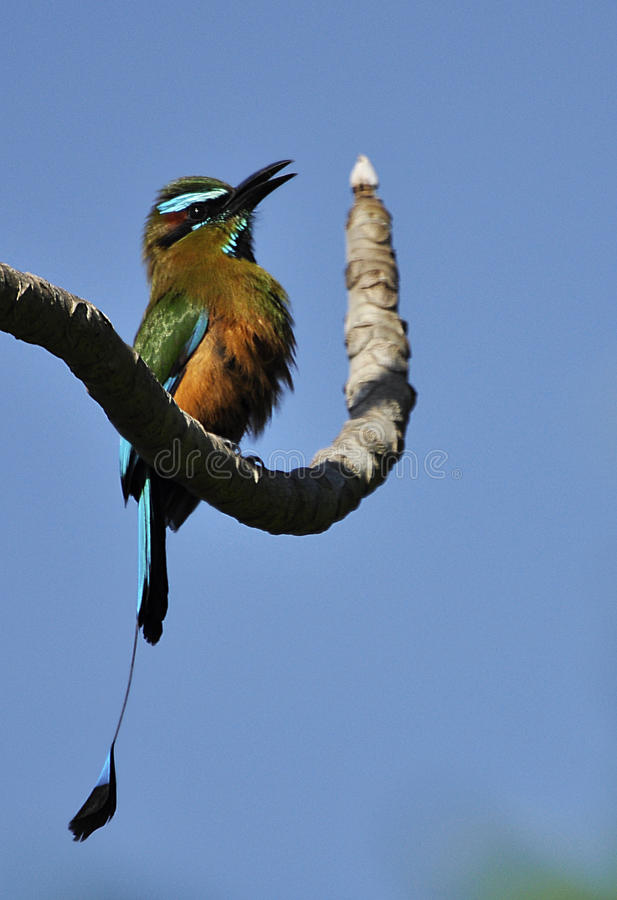 Turquoise-browed motmot stock photography