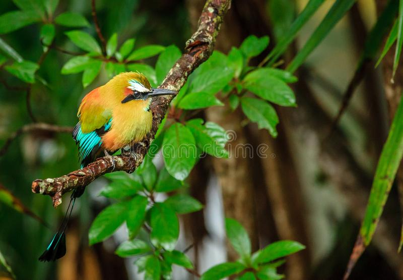 Turquoise-browed motmot royalty free stock photo