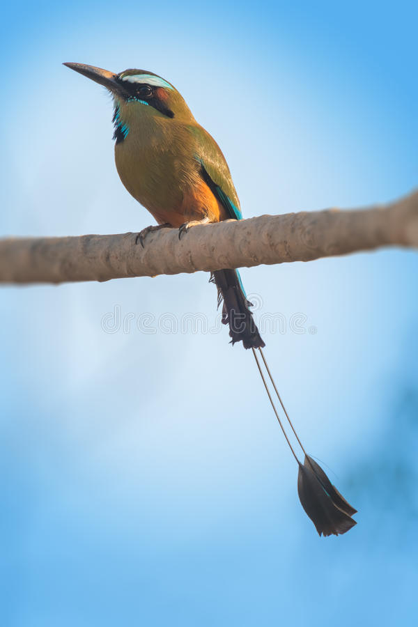 Turquoise browed motmot stock photography