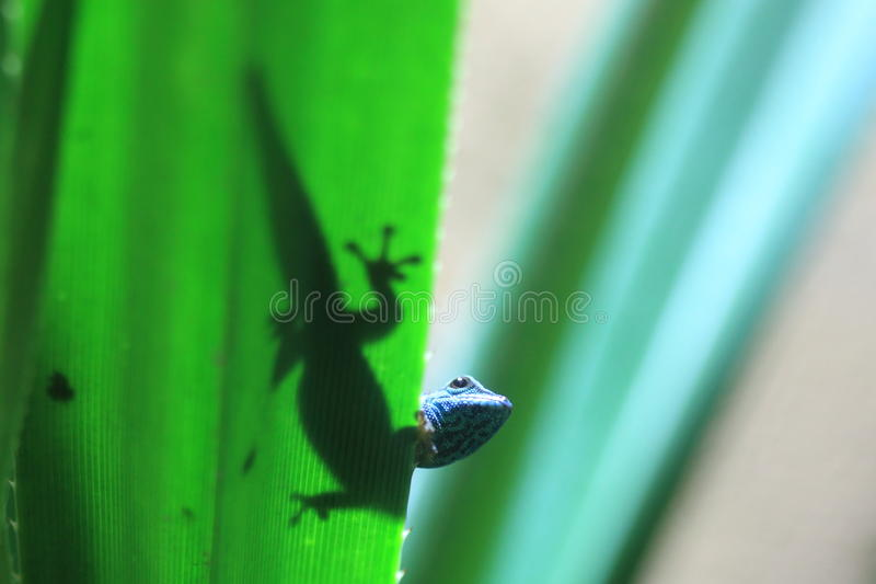 Turquoise dwarf gecko. On the green leaf royalty free stock photography