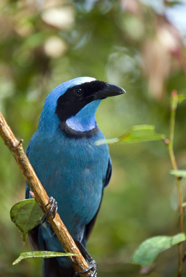 Turquoise Jay - forêt de nuage de Mindo - l'Equateur image libre de droits