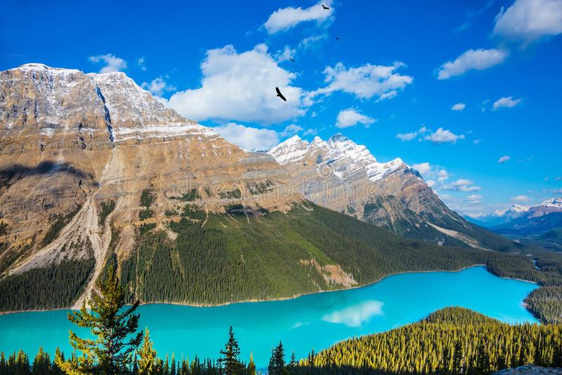 Mountain Lake as a `wolf head`. Turquoise Lake Peyto in Banff National Park. Mountain Lake as a `wolf head` is popular among tourists stock photos