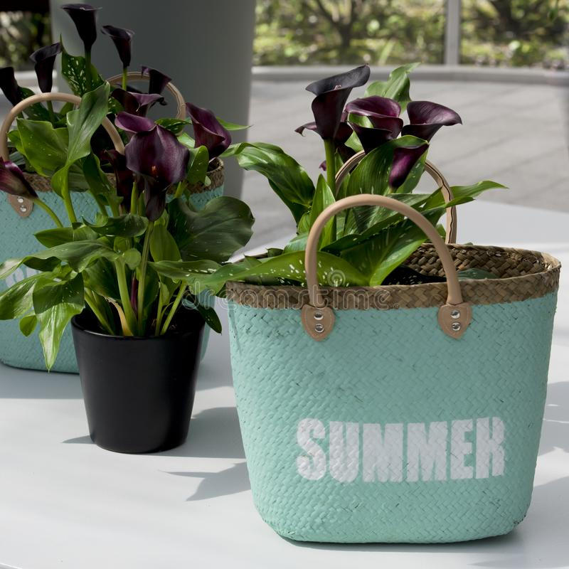 Turquoise raffia bag as flower pot for wine-red callas. Turquoise raffia bag with curved brown leather handle and white letters `summer` used as flower pot for royalty free stock images
