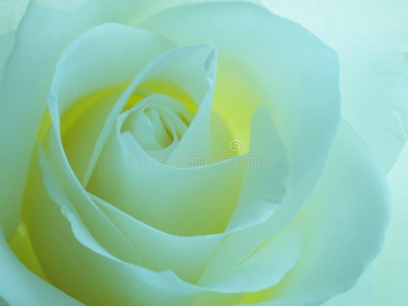 Turquoise Rose Background - photos courantes photos libres de droits