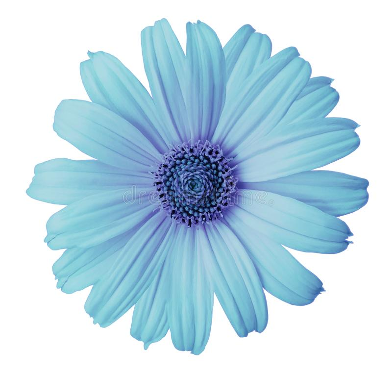 Turquoise-violet daisy flower on a white isolated background with clipping path. Flower for design, texture, postcard, wrapper. Closeup. Nature royalty free stock photo