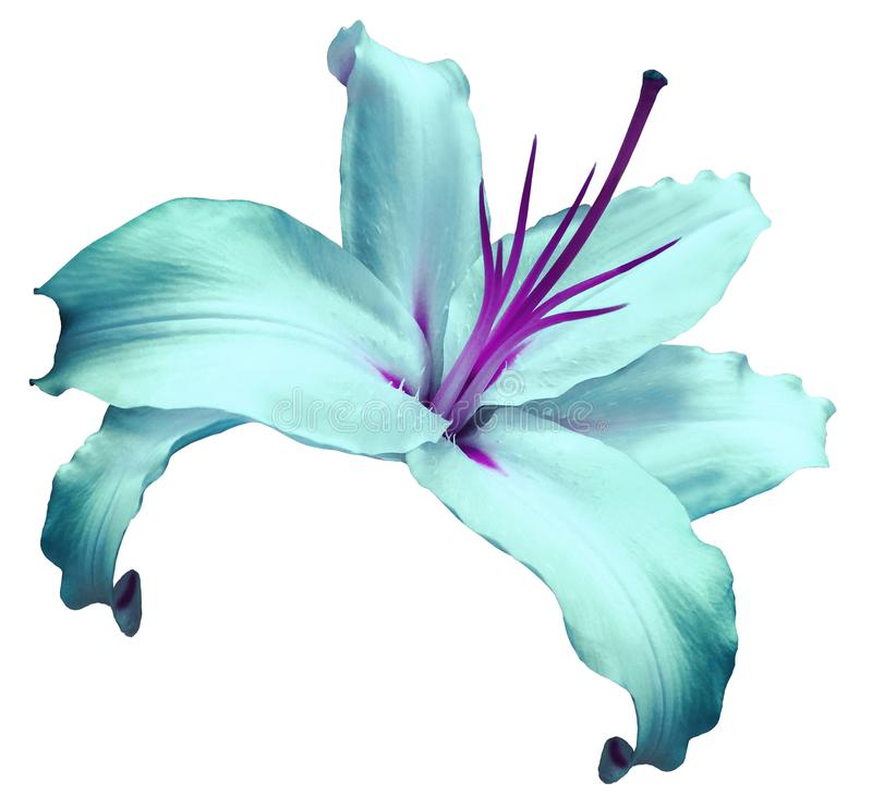 Turquoise-violet flower lily on white isolated background with clipping path no shadows. Closeup. Flower for design, texture,. Background, frame, wrapper. Close stock photos
