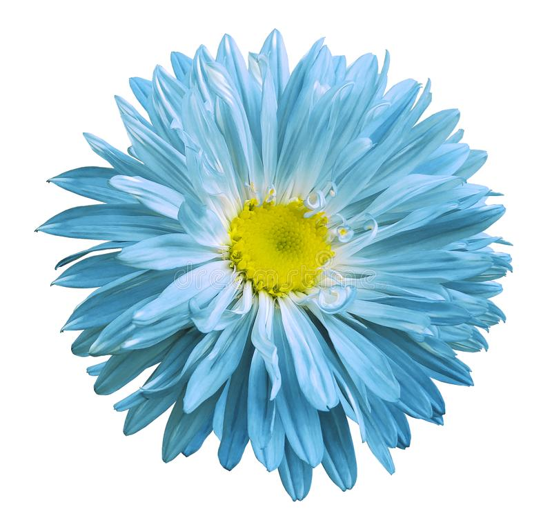 Turquoise-yellow Aster flower on a white isolated background with clipping path. Flower for design, texture, postcard, wrapper. royalty free stock images