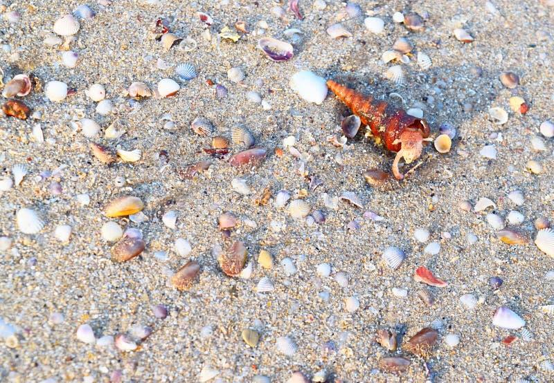 Turritella-Gastropode-Molluske, die aus Shell - Meer Shell Background herauskommt stockfotografie