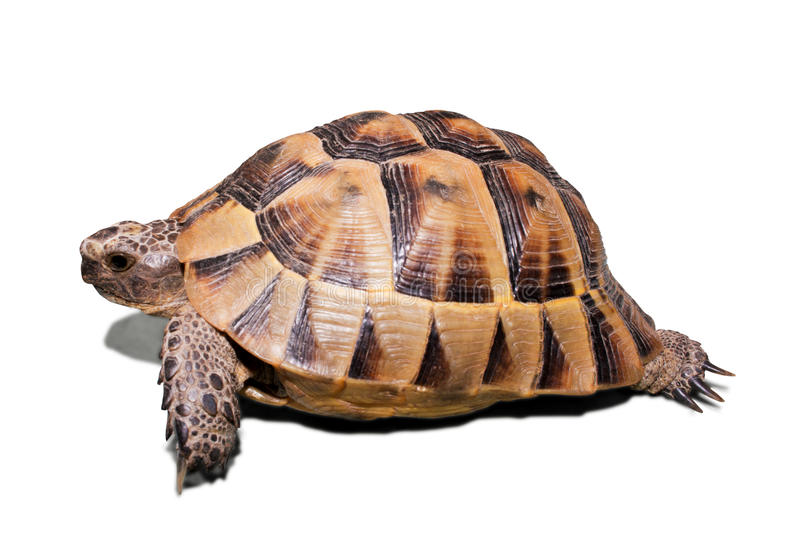 Download Turtle stock photo. Image of scale, shell, endurance - 10854396