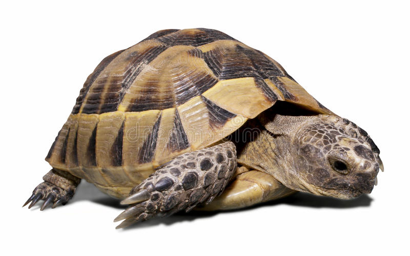 Download Turtle stock photo. Image of slow, crawling, endurance - 10870358