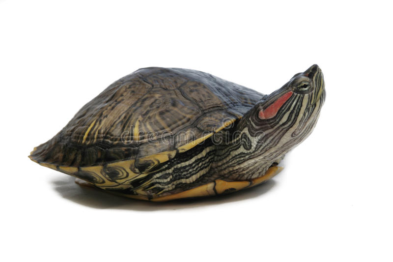 Turtle royalty free stock photography