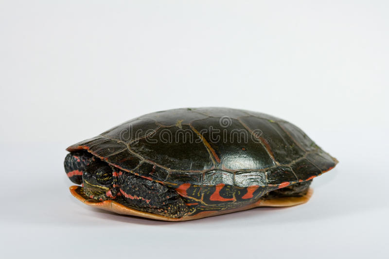 Download Turtle stock image. Image of scared, protected, peeking - 11074203