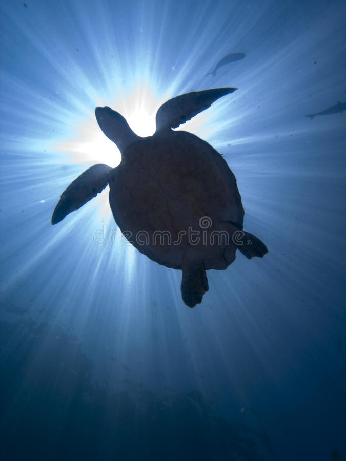 Turtle. Underwater back light view of a green turtle (Chelonia mydas), swimming close to water surface