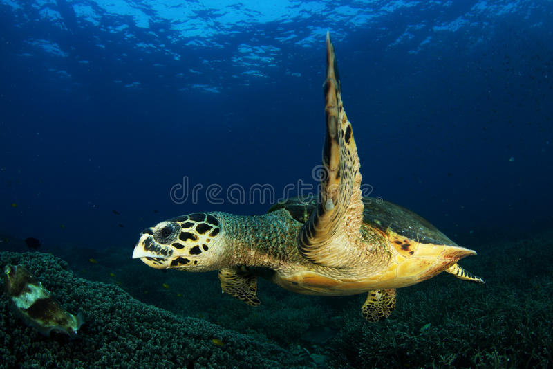 Turtle. S swimming , isolated with blue background stock image