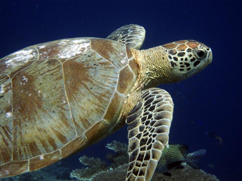 Turtle swimming in the blue ocean. Hawksbill turtle underwater at Sipadan, Malaysia stock photography